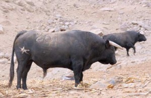 Blog-17-Toros-Santa-Rosa-300x196