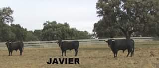 vaca 7