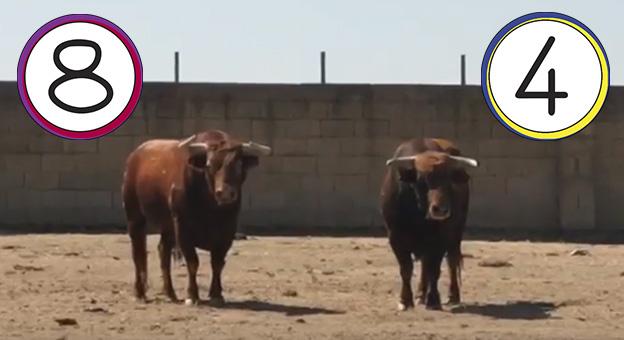 Los Toros De El Tajo Y La Reina Para La Corrida De Toros Del 28 De Julio En Calasparra El Muletazo